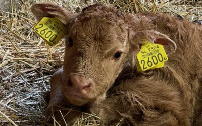 Een geboortegolf in de stal (met video)